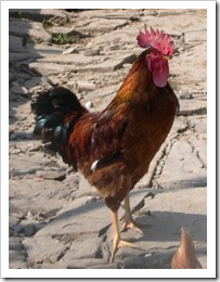 gallo_nostrano