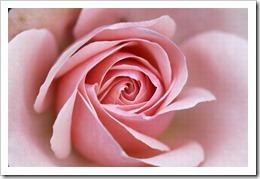 368723_8NK62E3JHY3JPT1DJOMFZJL573OTJA_rose-fleur-divine_H133618_L